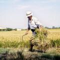 La D.O. arroz de Valencia organiza este domingo la VII edición de la fiesta de la siega (2)