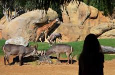 Visitante en la sabana africana de BIOPARC Valencia - verano 2018