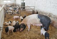 ESPAÑA SEMANA BIO:GRA229. VALL D'EN BAS (GIRONA), 05/06/2014.- Cerdos de la granja Ramonich, de la Vall d'en Bas (Girona), que ha mostrado hoy sus instalaciones con motivo de la celebración estos días de la Semana Bio, organizada por productores catalanes que cumplen con la normativa europea de alimentación ecológica. EFE/Robin Townsend