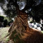 Castelló declararà el ficus de Maria Agustina i l'olivera de Rei en Jaume com a arbres monumentals d'interès local