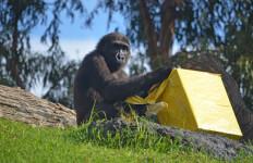 El gorila EBO celebra su 6 cumpleaños - BIOPARC Valencia - 26 octubre 2018 (2)