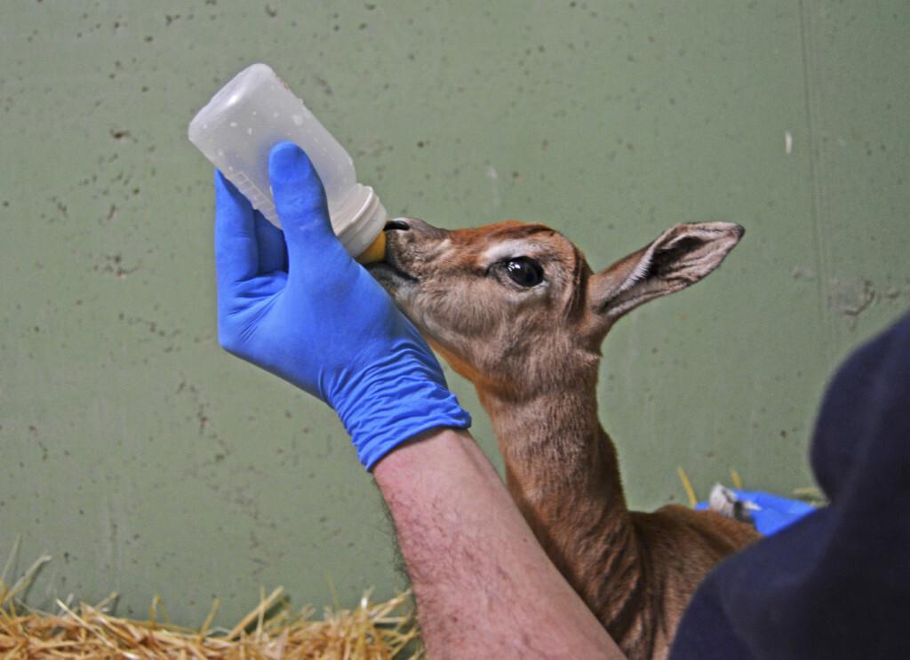 Los cuidadores de BIOPARC Valencia alimentan con biberón a la cría de gacela Mhorr recién nacida (2)