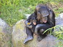 Octubre 2018 - El chimpance COCO - BIOPARC