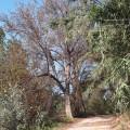 Olmos secos Clot Burriana (5)