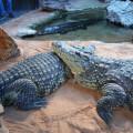 BIOPARC Valencia recibe tres cocodrilos del Nilo - 2018 (5)