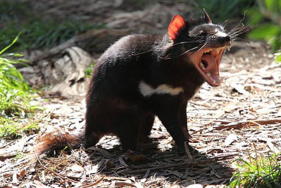 El-demonio-de-Tasmania-podria-tener-la-clave-de-la-regresion-de-tumores_image_380