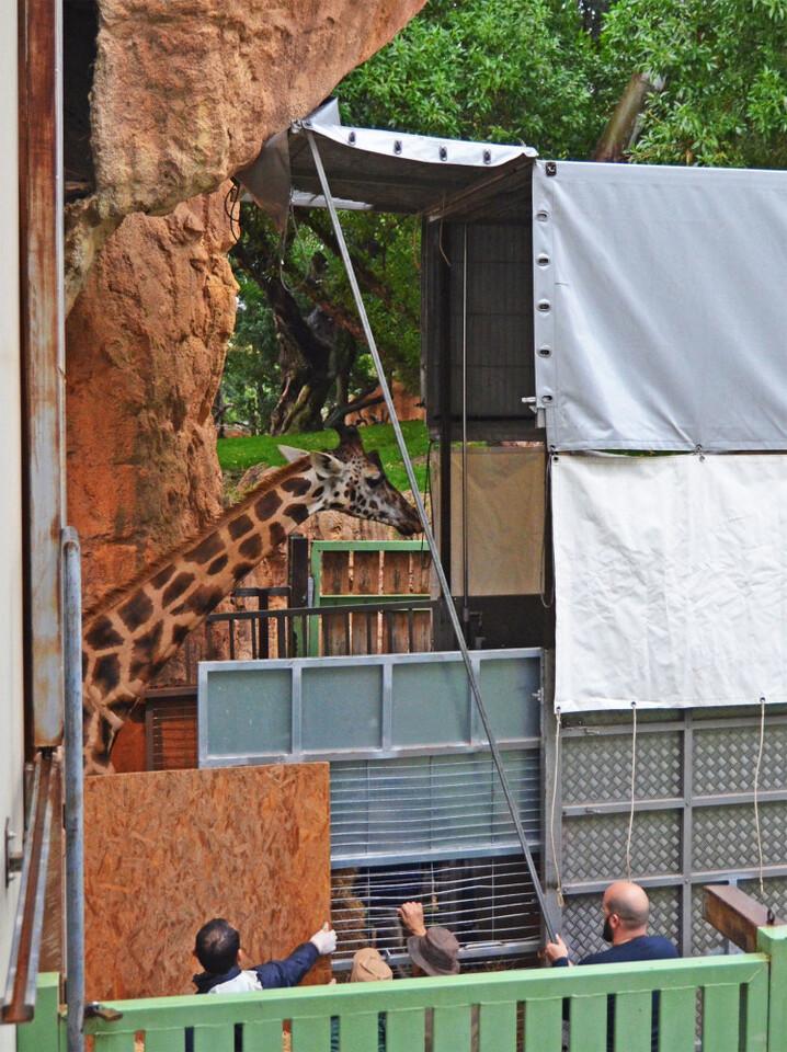 La jirafa Bulería - traslado desde BIOPARC Valencia al zoo de Córdoba - diciembre 2018