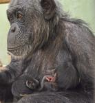 La hembra Malin y sus dos bebés - instalación interior BIOPARC Valencia - nacimiento de mellizos de chimpancés
