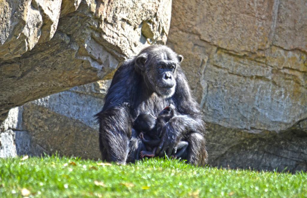 Mellizos chimpancés - La hembra Malin y sus dos bebés - BIOPARC Valencia (3)