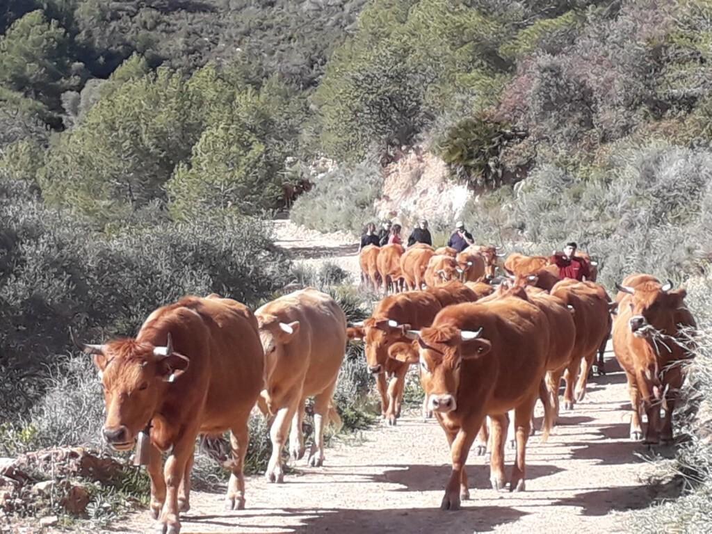 vacas_entrando_en_el_prat_feb_2019-1