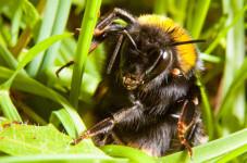 Cuidado-con-donde-pisas-esta-primavera-la-reina-de-abejorro-se-esconde-en-el-suelo_image_380
