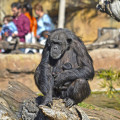 Febrero 2019 - La hembra Malin y sus dos mellizos - chimpancés - BIOPARC Valencia