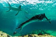 Los leptocléididos, cuyos restos se han encontrado por primera vez en la península ibérica, eran plesiosaurios más pequeños y de cuello más corto que vivían en aguas poco profundas. /José Antonio Peñas
