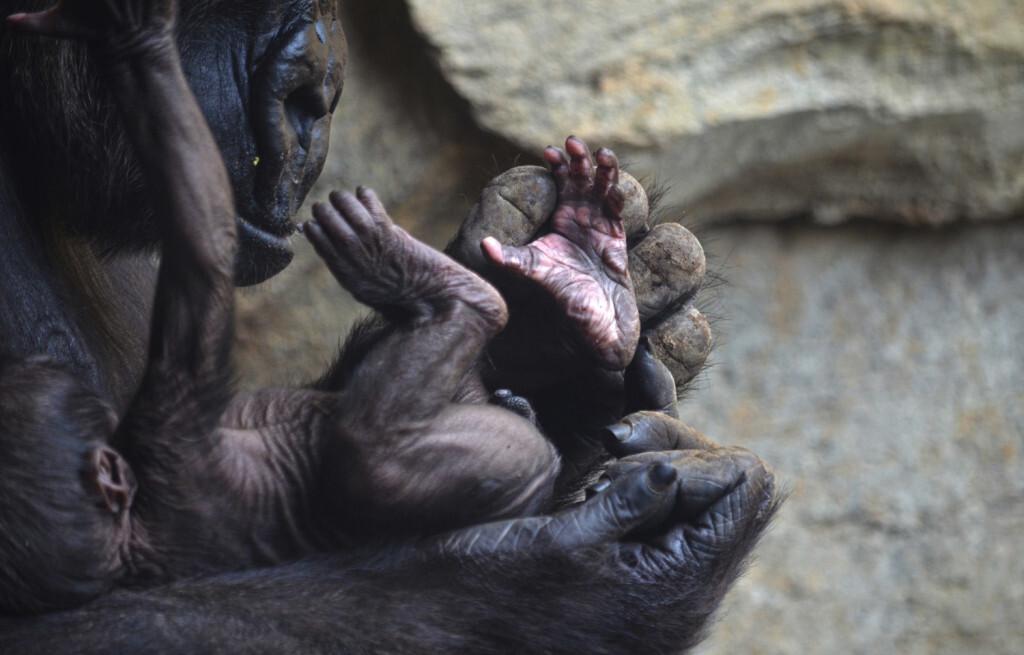 El bebé gorila nacido en BIOPARC Valencia cumple 1 semana y es macho