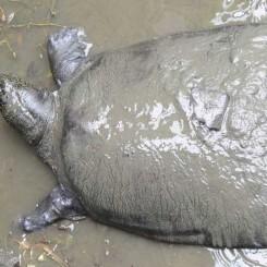 Muere la última hembra conocida de una especie de tortuga en peligro de extinción