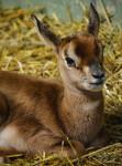 Cría de gacela Mhorr nacida en BIOPARC Valencia - verano 2019