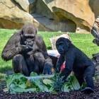 La gorila Virunga del Bioparc celebra su tercer cumpleaños entre regalos y con una pastel de sus delicias favoritas