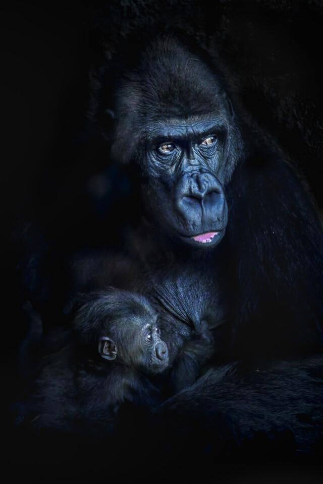 Los gorilas Fossey y Pepe - Exposicion Fotografica Solofoto - BIOPARC Valencia 2019
