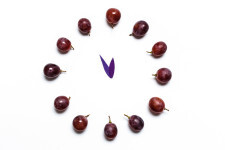 Clock of 12 piece grapes. New Year concept. Spanish tradition for the new year.