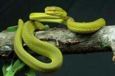 La-serpiente-del-mago-Salazar-Slytherin-descubierta-en-la-India