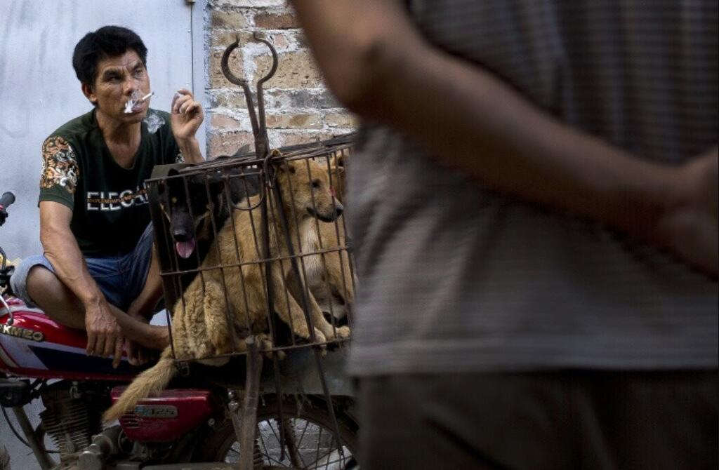 un-vendedor-de-perros-fuma-mientras-espera-a-los-compradores-junto-a-varios-perros-enjaulados-que-posteriormente-serian-vendidos-como-carne-para-consumo-humano-en-china_a53f55bb_1051x688